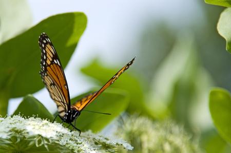 アン女王のレースの白花のモナーク蝶の写真。