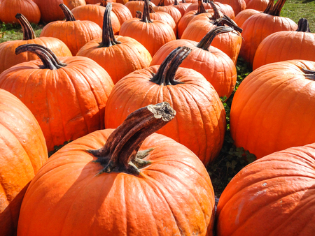 Pumpkins laying on the ground at a pumpkin patch. Stock Photo