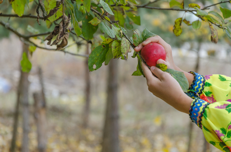 The little girl is picking red apple at the fruit garden.