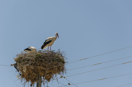 Two migratory birds nesting on electric pole, stork, in the spring. Kutahya in Turkey.
