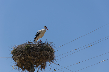 Migratory birds nesting on electric pole, stork, in the spring. Kutahya in Turkey.