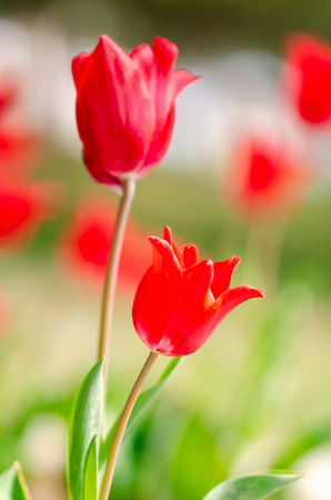 Flower tulips background. Beautiful view of red tulips under sunlight landscape of spring or summer.