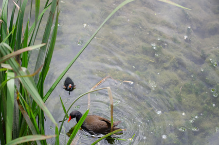 Common Moorhen (Gallinula chloropus) coot feeding its chick.They are swimming on the  reeds.