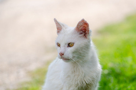 A durty poor homeless injured diseased neglected abandoned stray white cat .It is   with  injured ears ,eyes and scars at park.