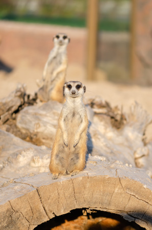 Meerkat on guard duty, watching for around on the bole.
