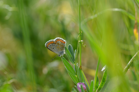 Common Blue butterfly (Polyommatus icarus) perched on a grass seed head during spring.Blurred background.