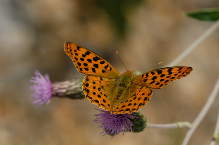 Queen of Spain Fritillary butterfly, Issoria lathonia,is  sitting on a purple flower  with wings open