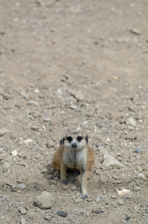 Meerkat sitting on the sand. It is looking to the camera Stock Photo