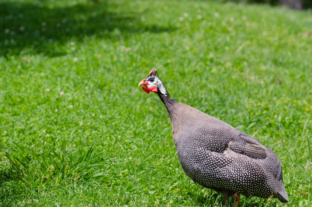 A Helmeted Guinea fowl on grass area.It is looking forward. Stock Photo