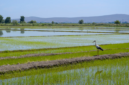 Stork is standing on the bank of rice fields.