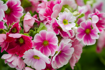 Primula obconica bright pink flowers close up