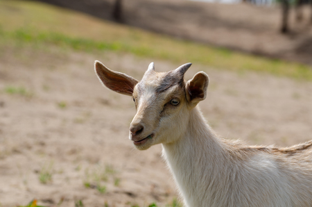 The portrait of the goat on the grassland.