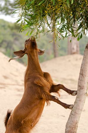 Brown goat is climbing to  tree and it is eating leaves. Banco de Imagens