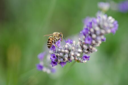 A bee is collecting pollen from lavender flower.