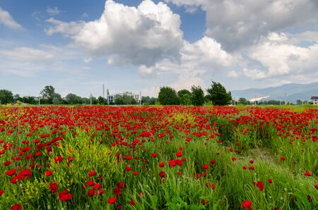 Rotes Mohnfeld gegen den bewölkten Himmel