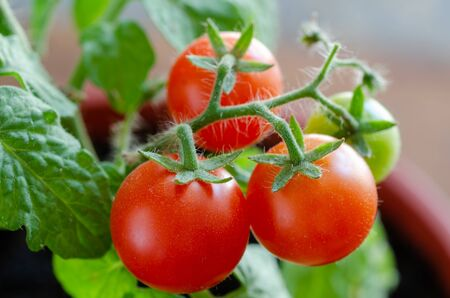 Ripe and unripe tomatoes on a branch. Close up of cherry tomatoes, growing in the pots at balcony