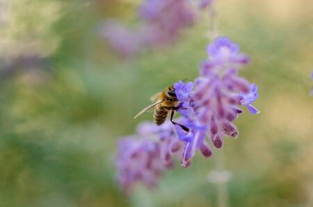 A honey bee on the purple flower,shallow depth of field, selective focus, Reklamní fotografie