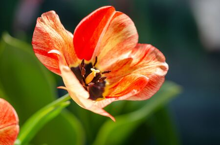 A tulip flower with yellow- orange colors,macrophoto,