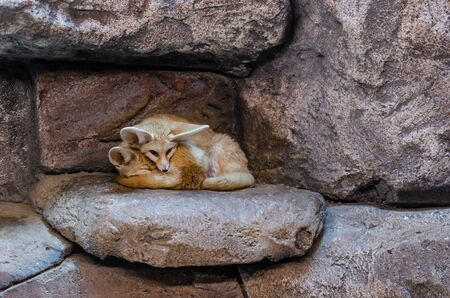 Cute fennec foxes (Vulpes zerda) are resting at the zoo