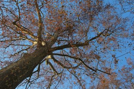 cottonwood  tree: Aim the sky to get the tree top