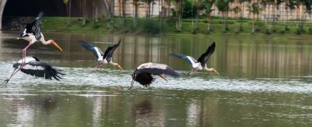 chilika: Egret Fly On water   Bangau