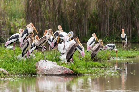 chilika: Egret in group   Bangau