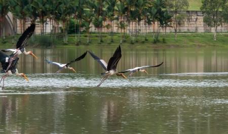 chilika: Egret Fly On Lake Stock Photo
