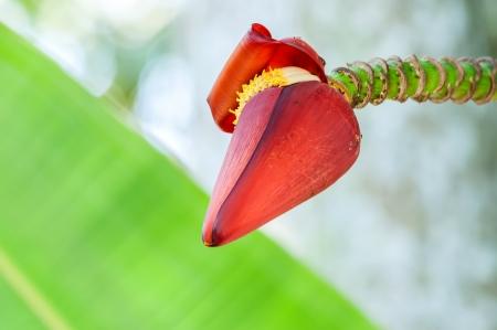 inflorescence: Banana inflorescence