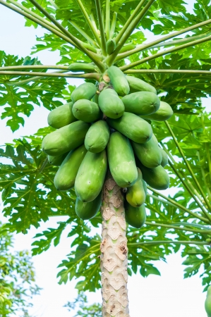 fresh papaya tree with bunch of fruits photo