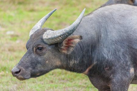 Asian water buffalo on the field