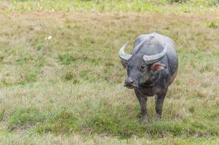 Asian water buffalo on the field photo