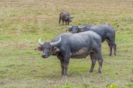 colorado mountains: Asian water buffalo on the field