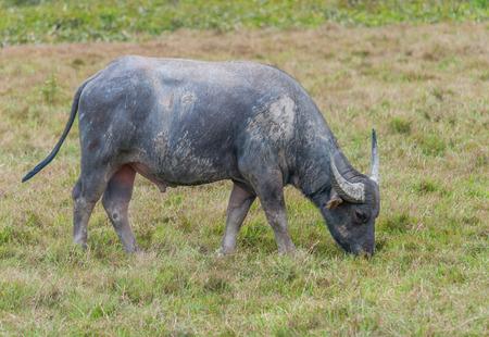 colorado mountains: Asian water buffalo on the field