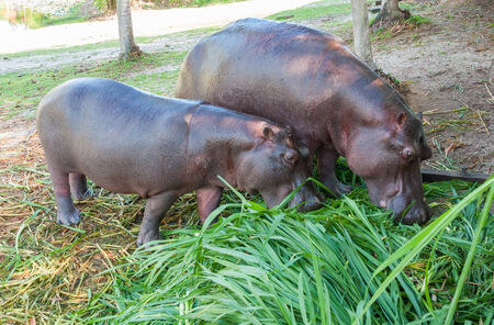 Hippopotamus in captivity