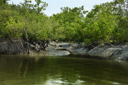 Breathing roots of Keora trees at the World largest mangrove forest Sundarbans, famous for the Royal Bengal Tiger and   in Bangladesh. Stock fotó - 101075293