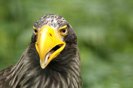 Stellers Sea Eagle closeup of head (Haliaeetus pelagicus) photo