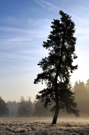 Lone spruce standing in the cold autumn fog blow photo