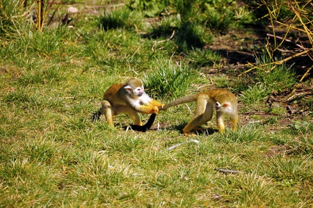 melee: Playing young Common Squirrel Monkeys on grass
