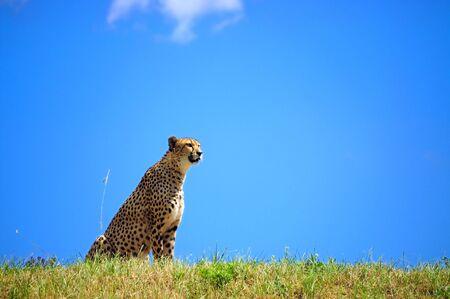 Cheetah sitting and watching what is happening around photo