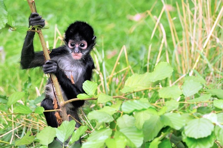 monkey on a tree: Geoffroys Spider Monkey, Black-handed Spider Monkey