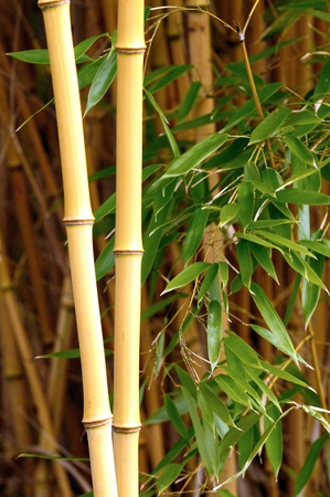 Closeup of yellow bamboo stalks in a bamboo forest photo