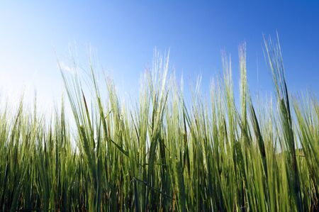 Closeup of barley green, and blue sky in spring photo