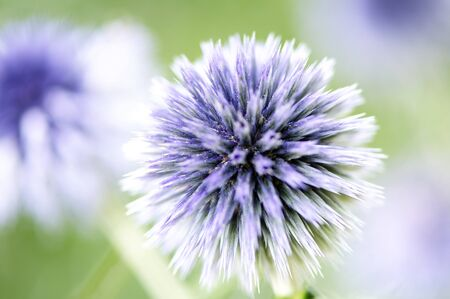 Globe Thistle in a meadow in summer photo