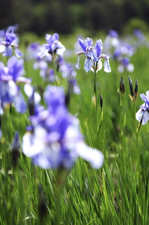 Iris sibirica flowers in a meadow in late spring photo