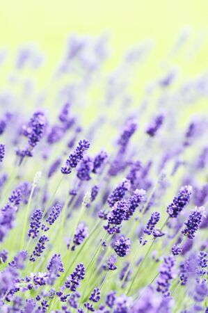 Blooming lavender field on a sunny day photo