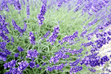 Details blooming lavender on a sunny day photo