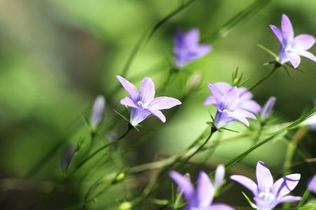 Bellflower flowers in a meadow in summer Stock Photo - 10058789
