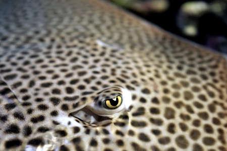 Closeup of the eye sting ray fish photo