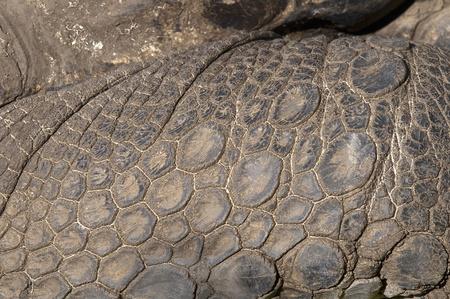 piel morena: Detalle de la piel de la tortuga de pie Foto de archivo
