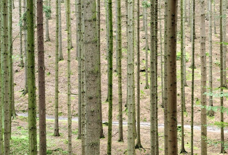 Look at the trunks of trees in the forest Stock Photo - 10485493